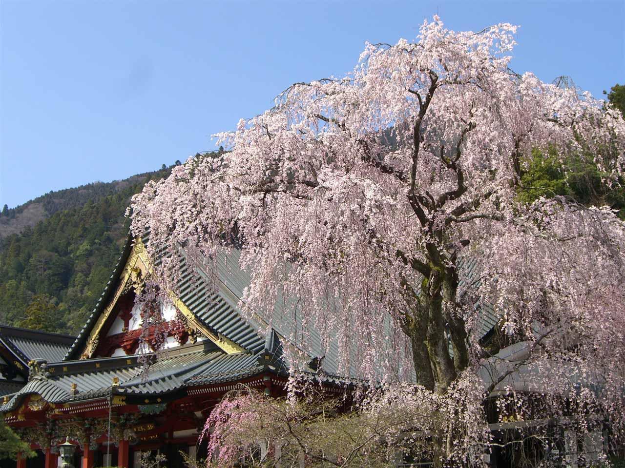 日本賞櫻-久遠寺