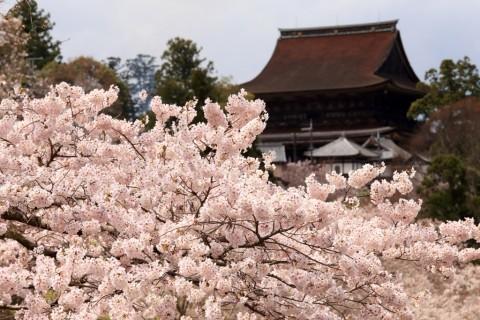 日本賞櫻-吉野山