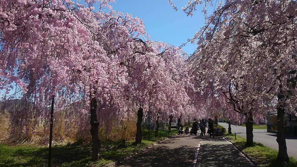 日本賞櫻-日中縣紀念自行車人行步道