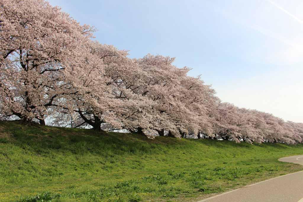 日本賞櫻-淀川河川公園背割堤