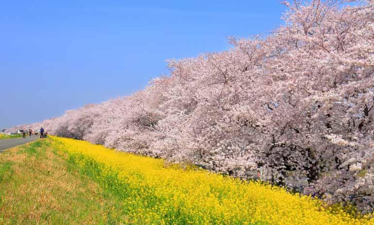 日本獎櫻花 - 熊谷瀑布