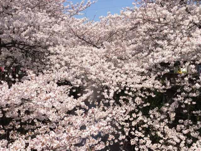 日本賞櫻-東京目黑川