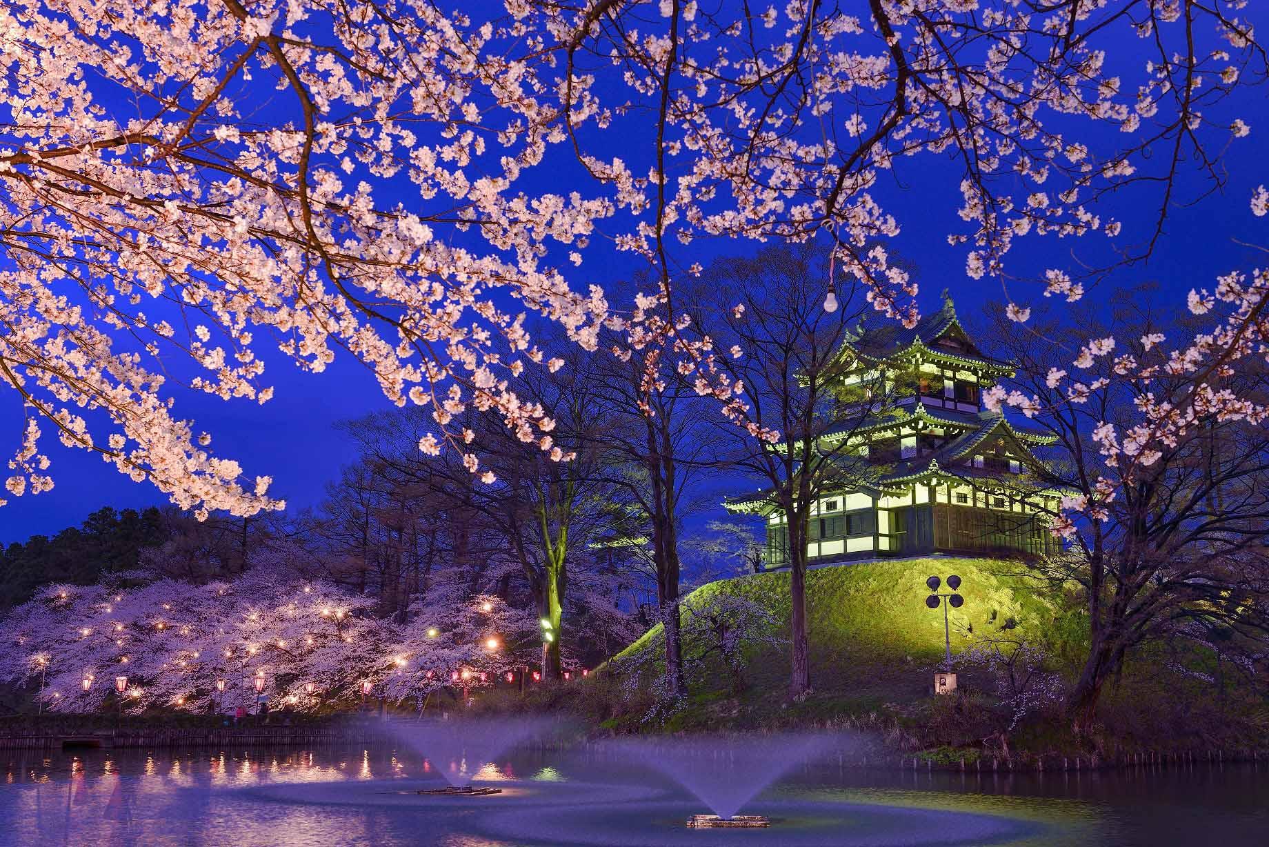 日本獎櫻花 - 高田公園