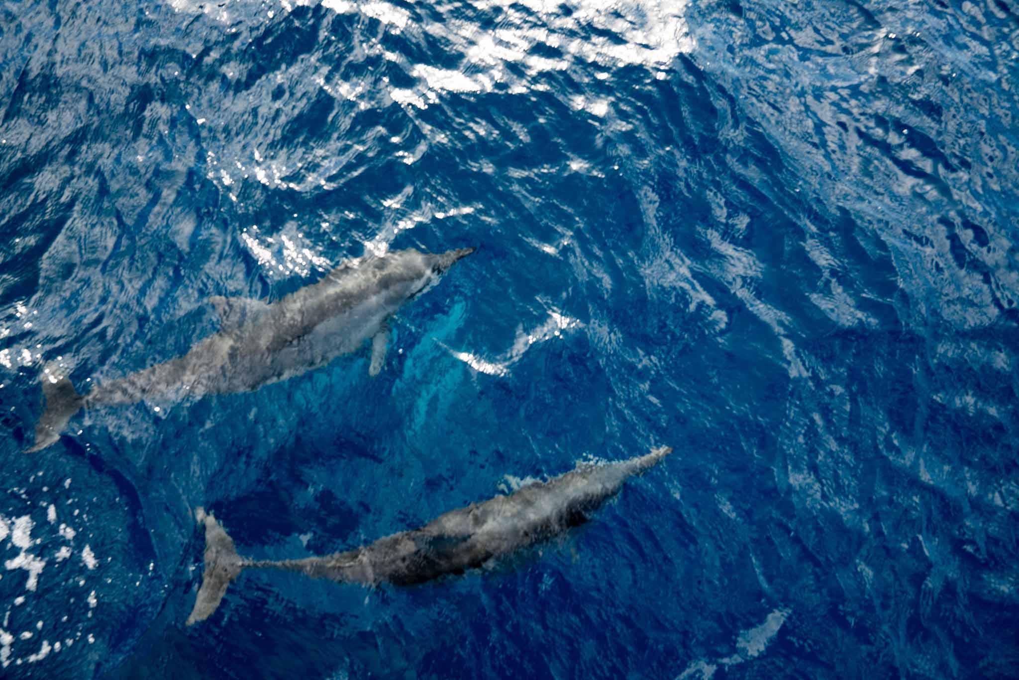 小笠原島海豚