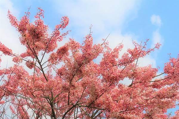 觸口遊客中心 櫻花